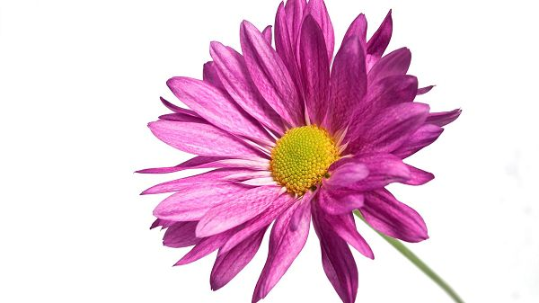 Pink Daisy Post in Pixel of 1920x1080, Pink Petals Embracing the Yellow Stamen, Together, They Look Great and Fit - HD Natural Scenery Wallpaper
