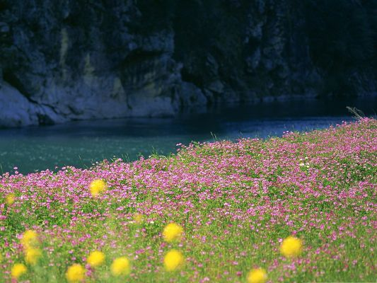 click to free download the wallpaper--Pink Flower Field, Tiny Blooming Flowers Along the River Side, Incredible Scene