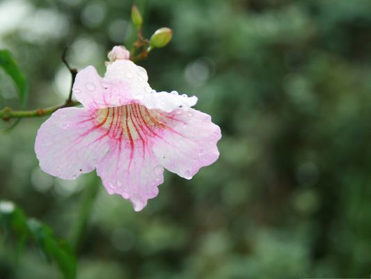 Pink Flower Images, Little Blooming Flower with Rain Drops, Incredible Scene