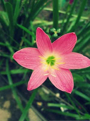 click to free download the wallpaper--Pink Flower Images, Long Stretched Petals, Blooming Flower on Green Background