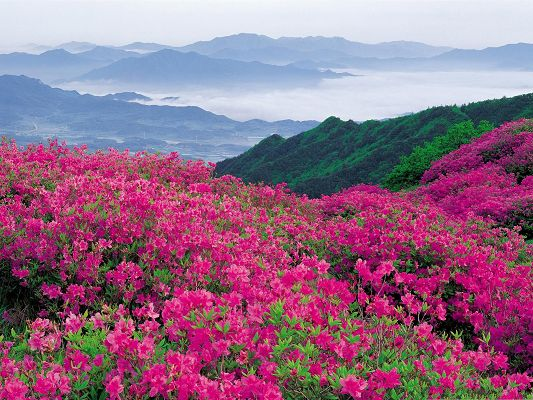 Pink Flower Photos, Beautiful Flowers Sea on Green Hill, Amazing in Look