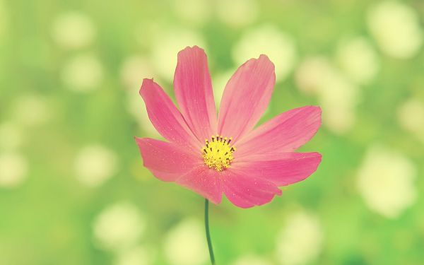 Pink Flower in Full Bloom, Stretching Hand to Embrace a Better Tomorrow, a Simple and Impressive Picture - Natural Scenery Wallpaper