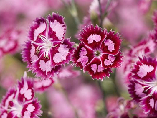 click to free download the wallpaper--Pink Flowers Image, Blooming Flowers Under Macro Focus, Incredible Scene