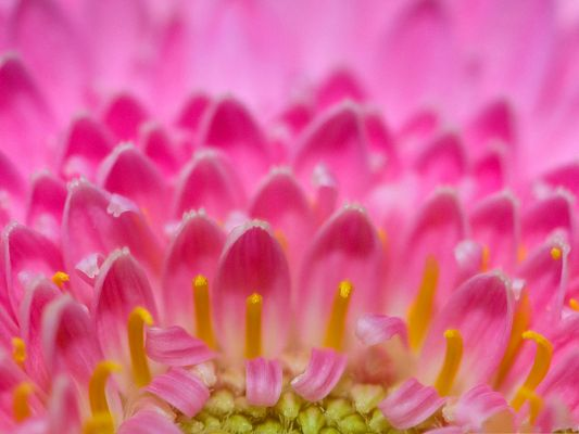 click to free download the wallpaper--Pink Flowers Image, Blooming Flowers and Yellow Stamen, Incredible Scene