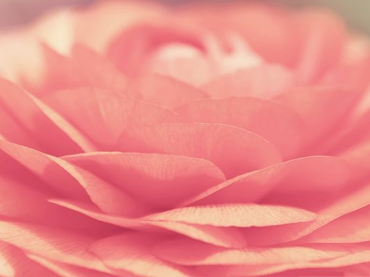 click to free download the wallpaper--Pink Flowers Photo, Blooming Flower Under Macro Focus, Amazing Scenery