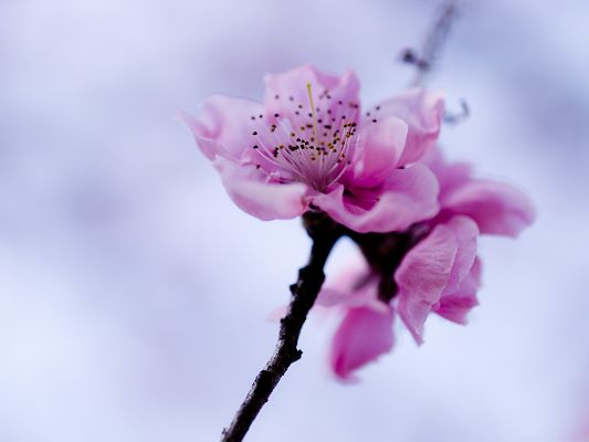 click to free download the wallpaper--Pink Flowers Photography, Blooming Flowers on Black Branch, Incredible Look