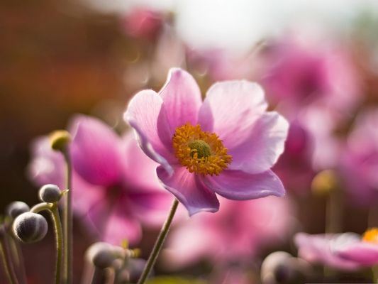 click to free download the wallpaper--Pink Flowers Picture, Blooming Flower and Yellow Stamen, Incredible Scene