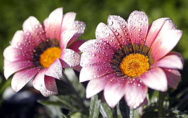 click to free download the wallpaper--Pink Flowers Picture, Blooming Flower with Rain Drops on the Petal