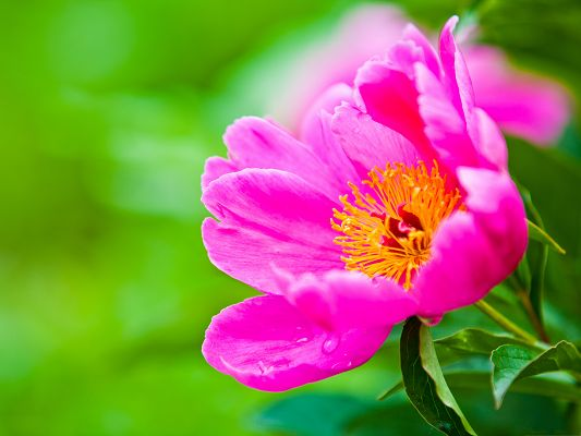 click to free download the wallpaper--Pink Flowers Picture, Small Flower in Bloom, Put Against Green Background