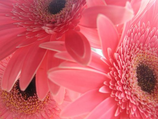 click to free download the wallpaper--Pink Gerbera Flowers, Wide and Long Petals, Impressive Look