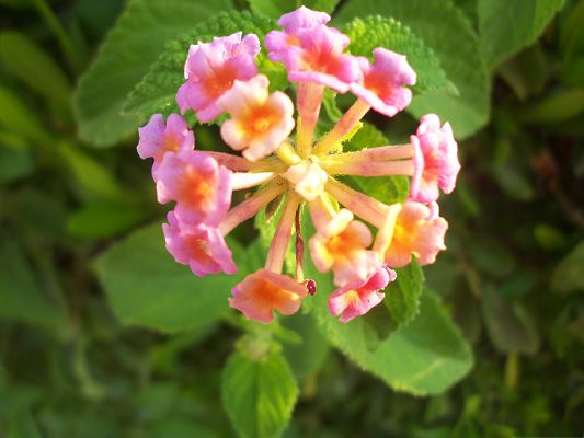 click to free download the wallpaper--Pink Lantana Flowers, Tiny Flower in Bloom, Green Grass, Impressive Color