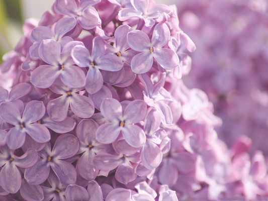 click to free download the wallpaper--Pink Lilac Flowers, a Pile of Pink Flowers, Fresh and Impressive Scene