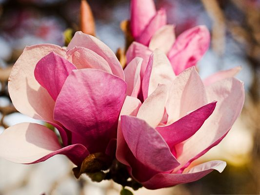 click to free download the wallpaper--Pink Magnolia Flower, Beautiful Flower in Bloom, Clean and Impressive Scene