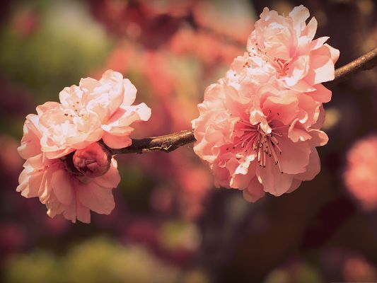 click to free download the wallpaper--Pink Prunus Flowers, Blooming Flowers Under Micro Focus, Brown Thin Branch
