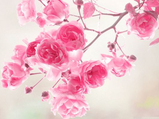 click to free download the wallpaper--Pink Roses Image, Blooming Roses on Thin Branch, Amazing Scene