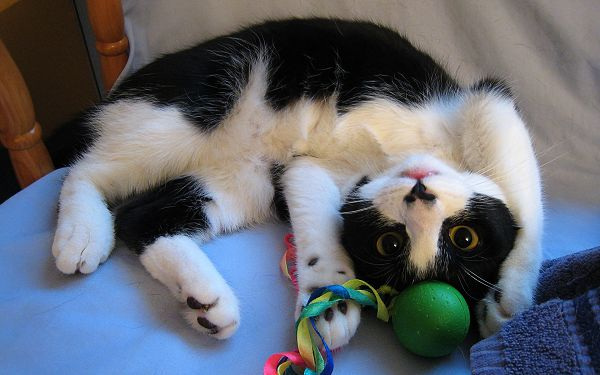 click to free download the wallpaper--Playing Cute Cat, Kitten with a Green Ball, Upside Down