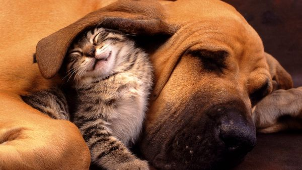 Playing Together, Kitty Sleeping Under Puppy's Ear, Relationship is Definitely Close - Cute Kitty and Puppy Like Family