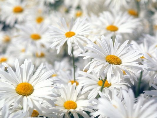 click to free download the wallpaper--Plentiful Oxeye Daisies Post in 1600x1200 Pixel, All Flowers in Bloom, a Field of Smiling Face, Shall Attract Much Attention - HD Natural Scenery Wallpaper