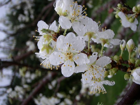 click to free download the wallpaper--Plum Flowers Picture, White and Pure Flowers, Rain Drops on the Petal