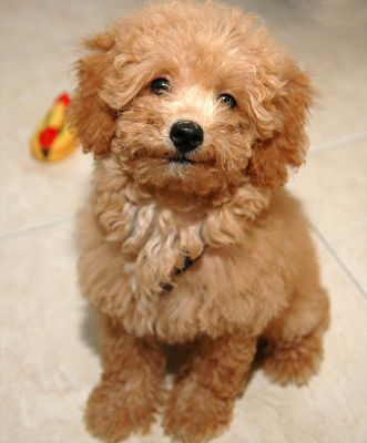 click to free download the wallpaper--Poodle Puppy Images