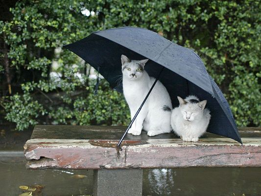 click to free download the wallpaper--Poor Cats Pictures, Has No Home or Shelter, Rain Falling, an Umbrella is Given, Lucky Ones