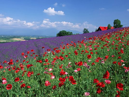 Poppy Flower Images, Red and Purple Flowers Under the Blue Sky