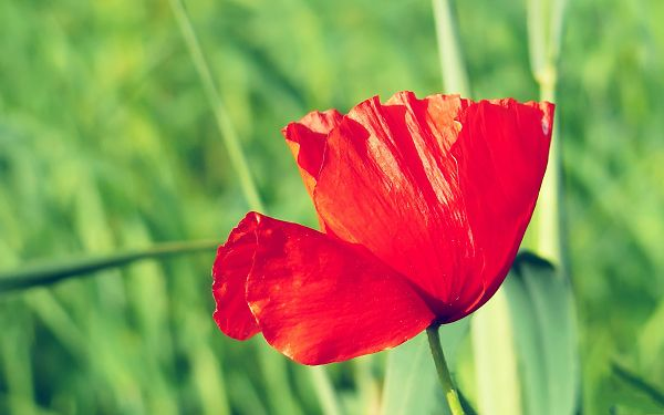 click to free download the wallpaper--Poppy Flower Photos, a Red Flower Among Green Trees, What a Contrast!