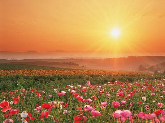 click to free download the wallpaper--Poppy Flower Pictures, Beautiful Flowers Under Warm Sunlight, High Mountains