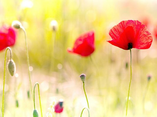 click to free download the wallpaper--Poppy Flower Pictures, Small and Red Flowers, Amazing Scenery