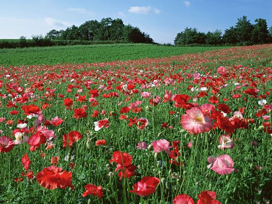 click to free download the wallpaper--Poppy Flower Wallpaper, Endless Field of Beautiful Flowers, Impressive Scene