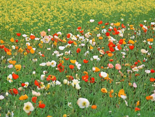 click to free download the wallpaper--Poppy Flowers Image, Colorful Flowers Among Green Grass, Great in Look