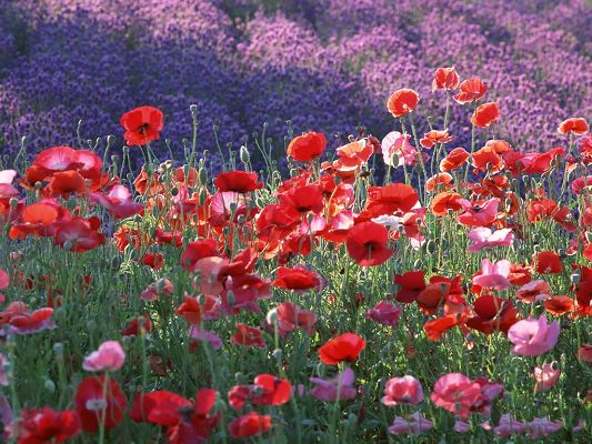click to free download the wallpaper--Poppy Flowers Image, Red and Purple Flowers on Hillside, Impressive Scenery
