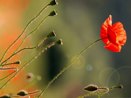click to free download the wallpaper--Poppy Flowers Picture, Red Flower in Full Bloom, Gain Utmost Attention