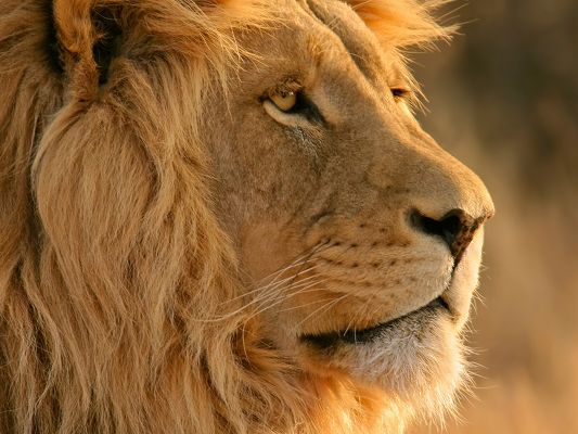 click to free download the wallpaper--Powerful Animals Picture, Lion in Serious Look, He Plays the Role of Justice