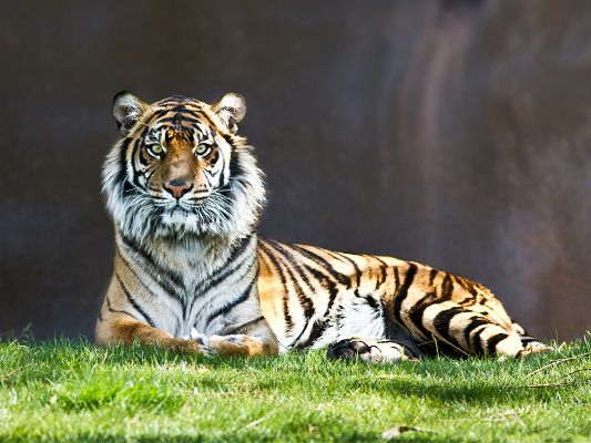 click to free download the wallpaper--Powerful Tiger Image, Long and Smooth Fur, Lying on Green Grass, Great and Decent Look