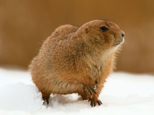 click to free download the wallpaper--Prairie Dog Image, It Indeed Looks Like a Mouse, Walk in Snow