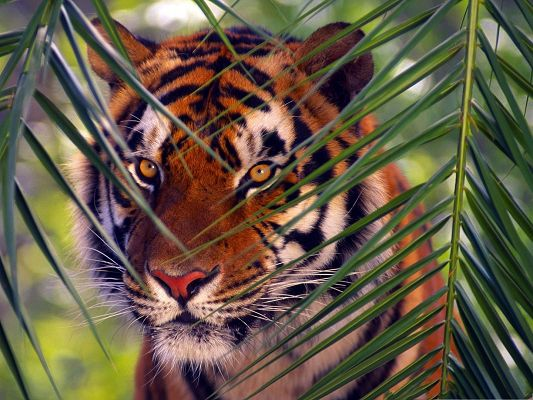 Prowling Tiger Pics, Cute Tiger Hiding Behind Green Grass, Eyes on Alert