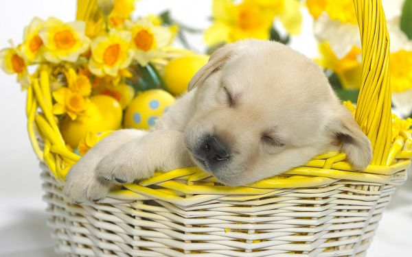 click to free download the wallpaper---Puppy Sleeping in Gift Basket, Simply a Cutie, Do Not Weaken Him up, He is Presented to Him - Sleeping Puppy Widescreen Wallpaper
