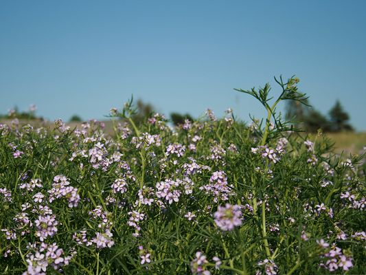 click to free download the wallpaper--Purple Blooming Flowers, a Field of Flowers Under the Blue Sky, Feeling Good