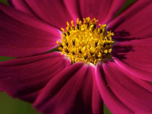 click to free download the wallpaper--Purple Cosmos Flower, Pink Petals and Yellow Stamen, Amazing Look