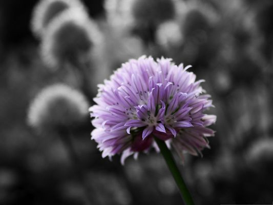click to free download the wallpaper--Purple Flower Pictures, Small Flowers on Black and White Background, Amazing Scenery