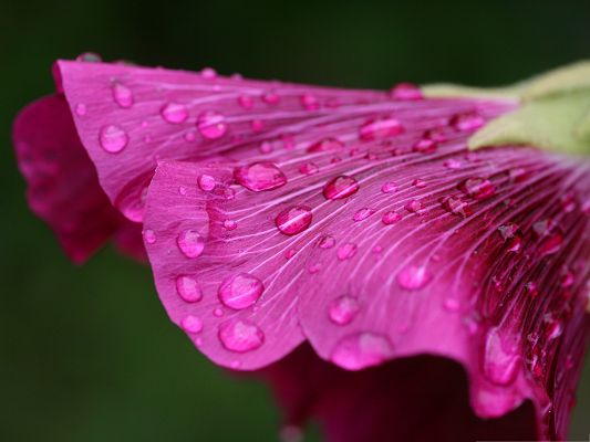click to free download the wallpaper--Purple Flower Pictures, Water Drops on the Petal, Great Morning Scenery