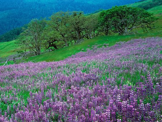 click to free download the wallpaper--Purple Flowers Field, Endless Flower Sea, Tall Green Trees Stay Close