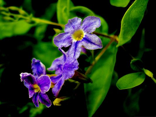click to free download the wallpaper--Purple Flowers Picture, Beautiful Flower in Bloom, Green Leaves Around