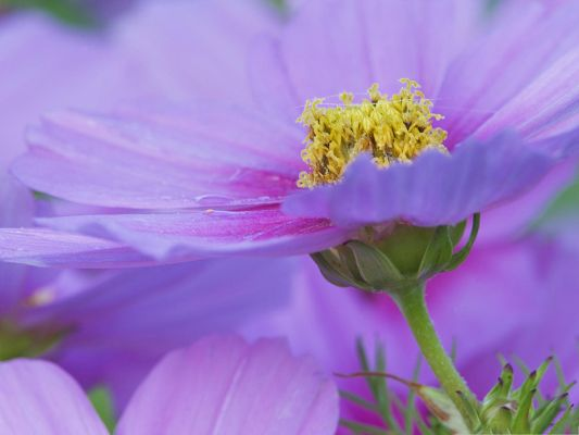 click to free download the wallpaper--Purple Flowers Picture, Blooming Flower and Yellow Stamen, Incredible Look
