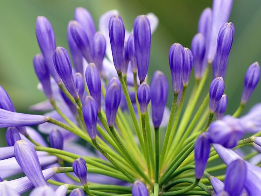 click to free download the wallpaper--Purple Flowers Picture, Small Flowers in Bud, Green Stamen as Support
