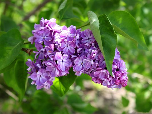green leaves purple flowers - photo #43