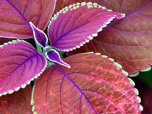 click to free download the wallpaper--Purple Plant Photography, Purple Leaves Under Digital Camera, Decent Scenery