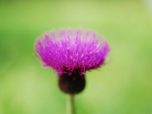 click to free download the wallpaper--Purple Thistle Flower, Single Purple Flower in Bloom, Unique Beauty