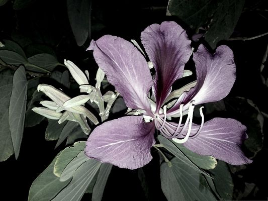 Purple Violet Flower, Beautiful Flower in Bloom, White and Black Style